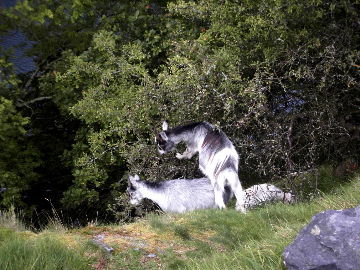 Козы лезут на кусты Англия