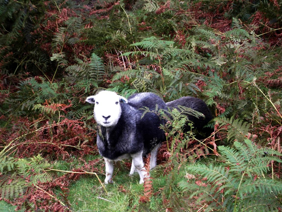 Смешная овца. Англия