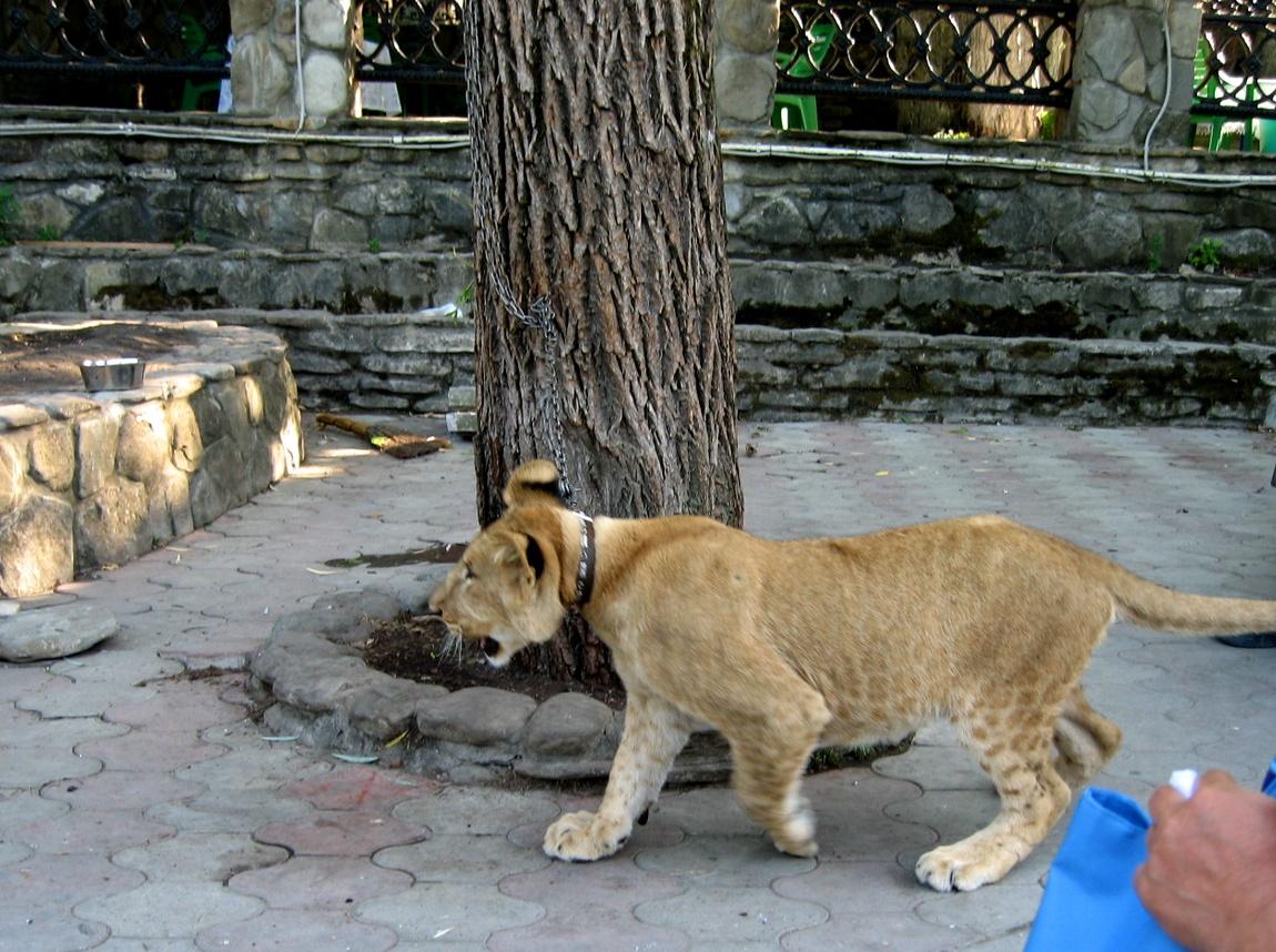 Львёнок в Геленджике