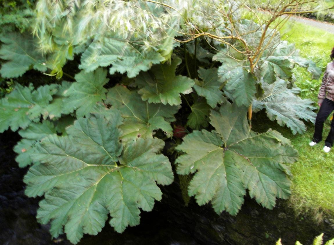 Гигантские листья растут в английском посёлке Аррохар на озере Лох-Лонг. (Англия)