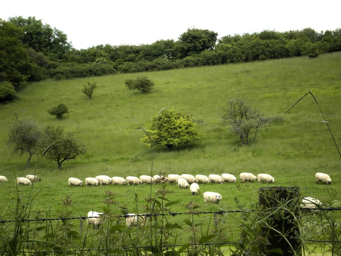 Смешные овцы, Англия