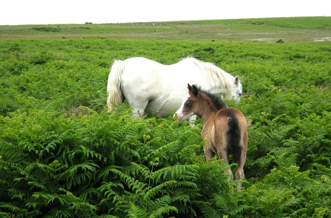 Белый конь и жеребёнок в Англии