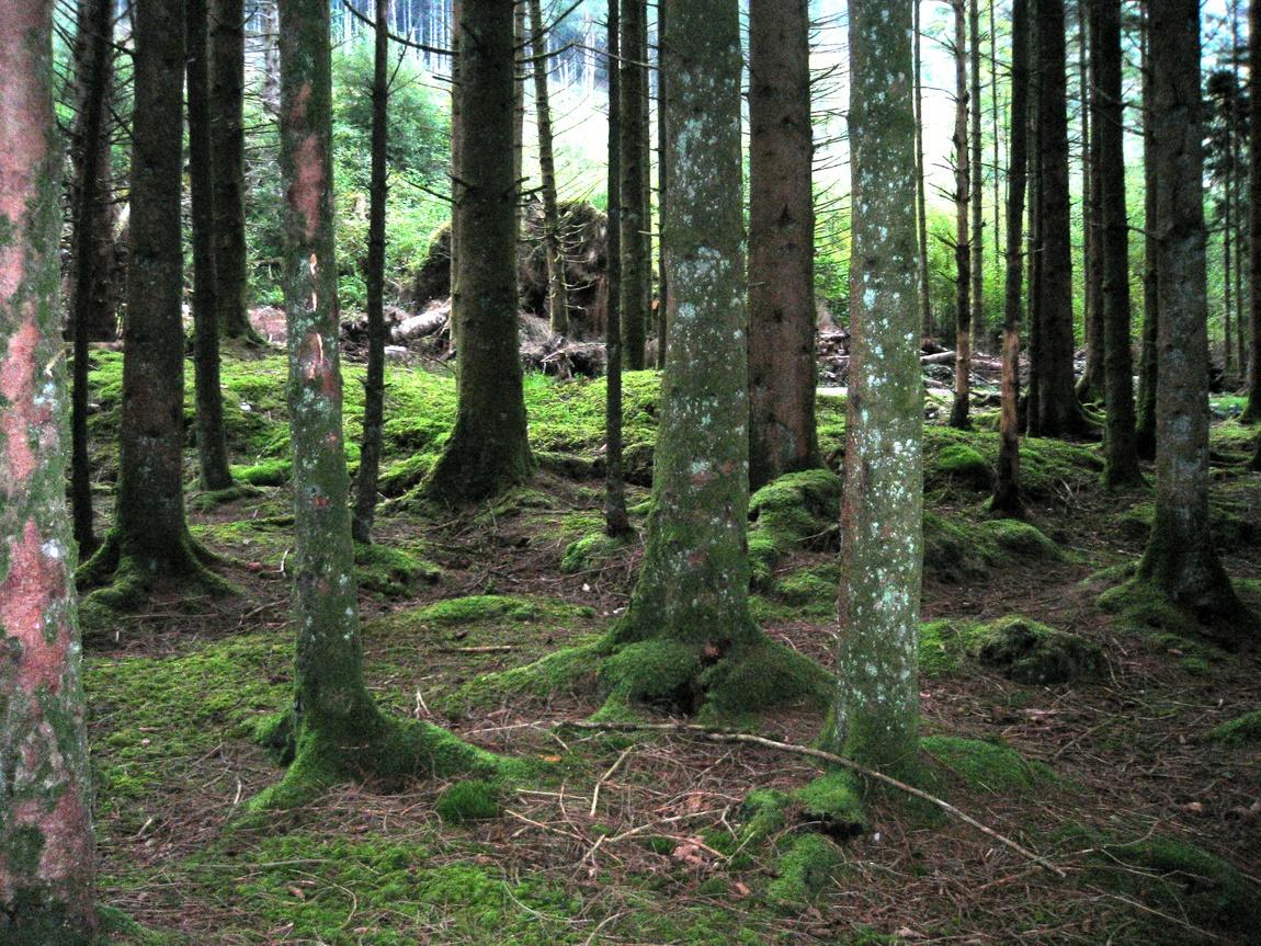 Лес зеленый в Шотландии
