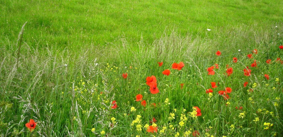 Англия -дикие цветы
