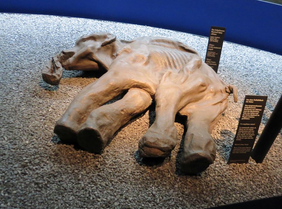 Экспозиция детёныша мамонта, жившего 30000 лет тому назад.