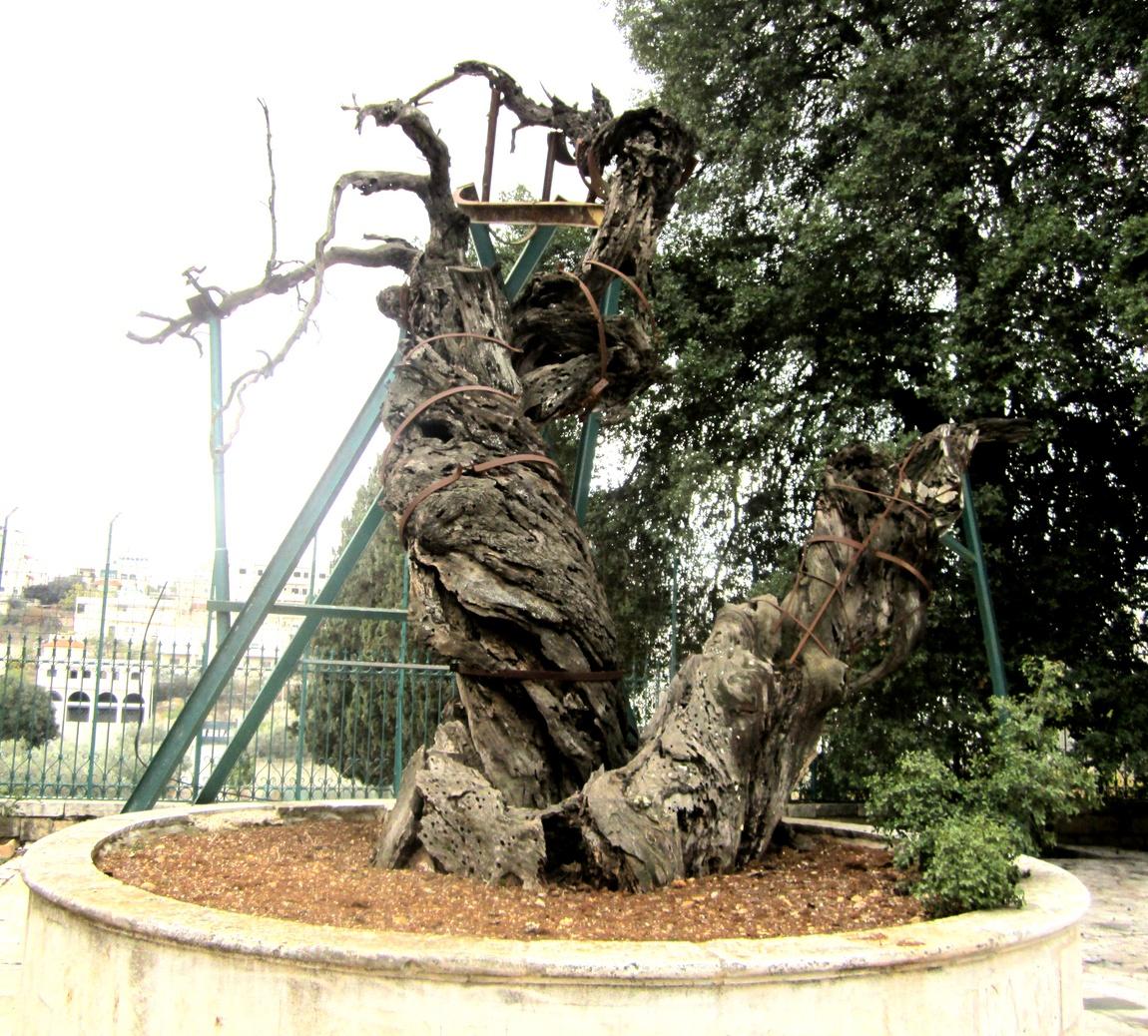 Мамврийский дуб (Палестина)