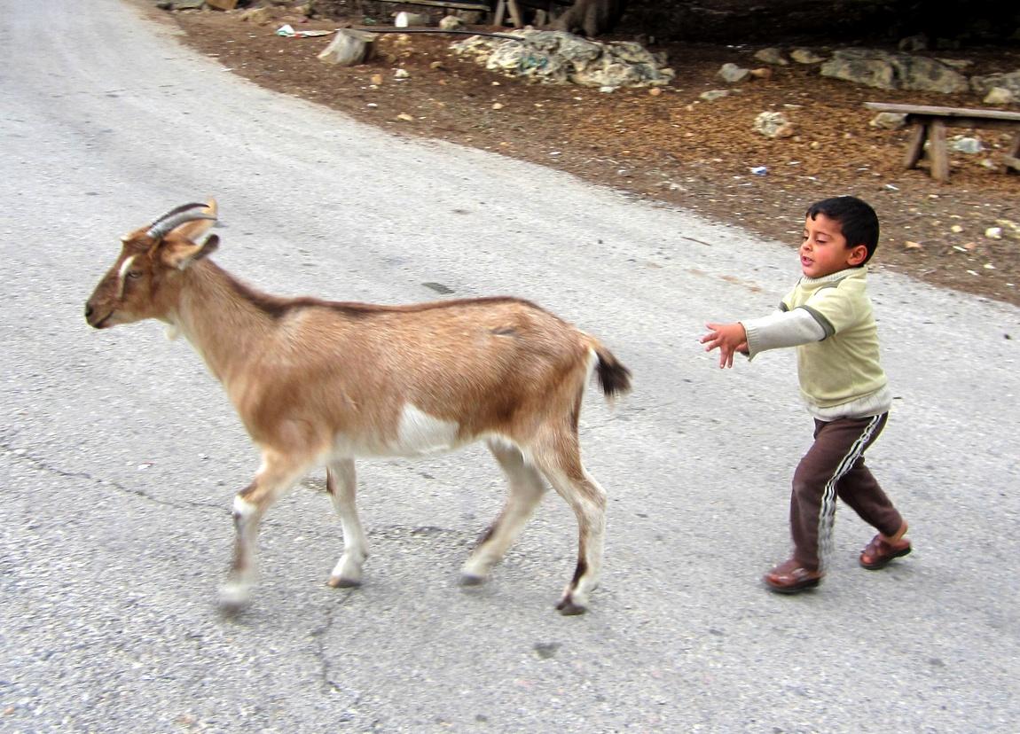 Можно козу таскать за хвост (Палестина)