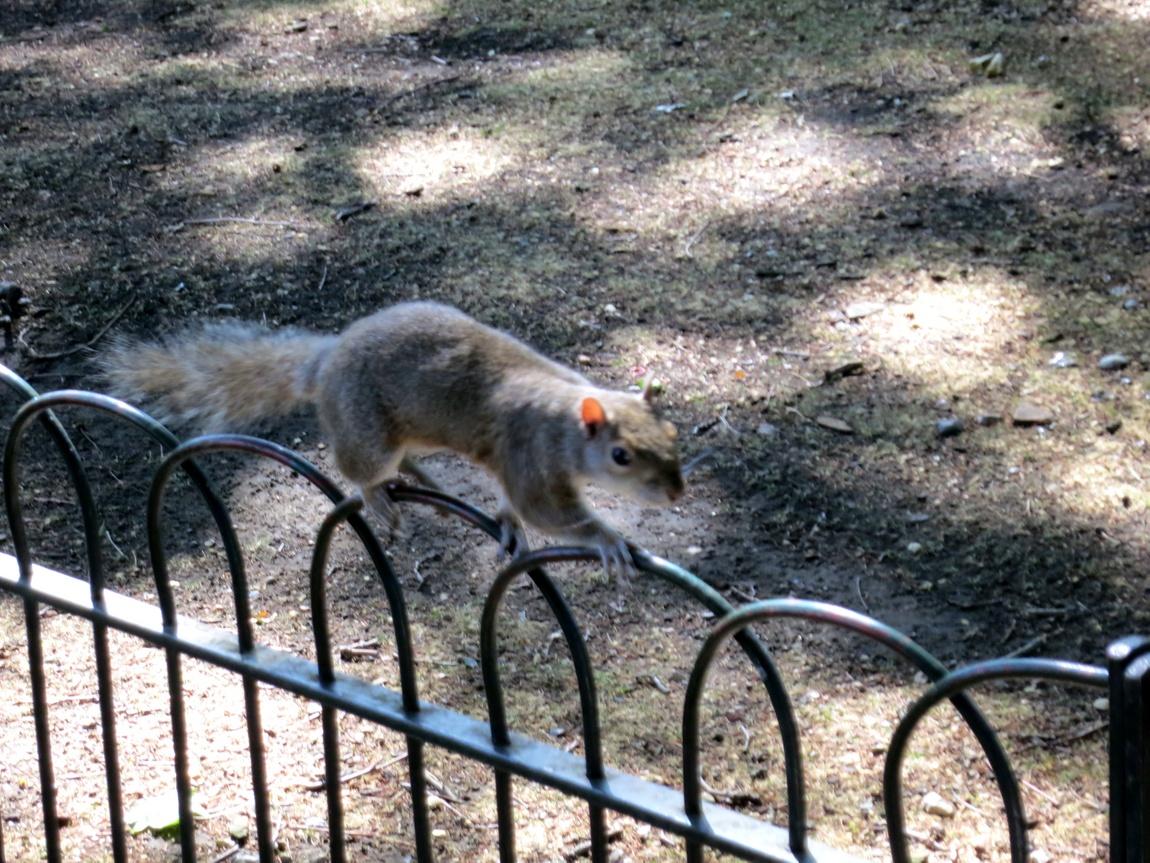 Белка в парке Сент-Джеймс