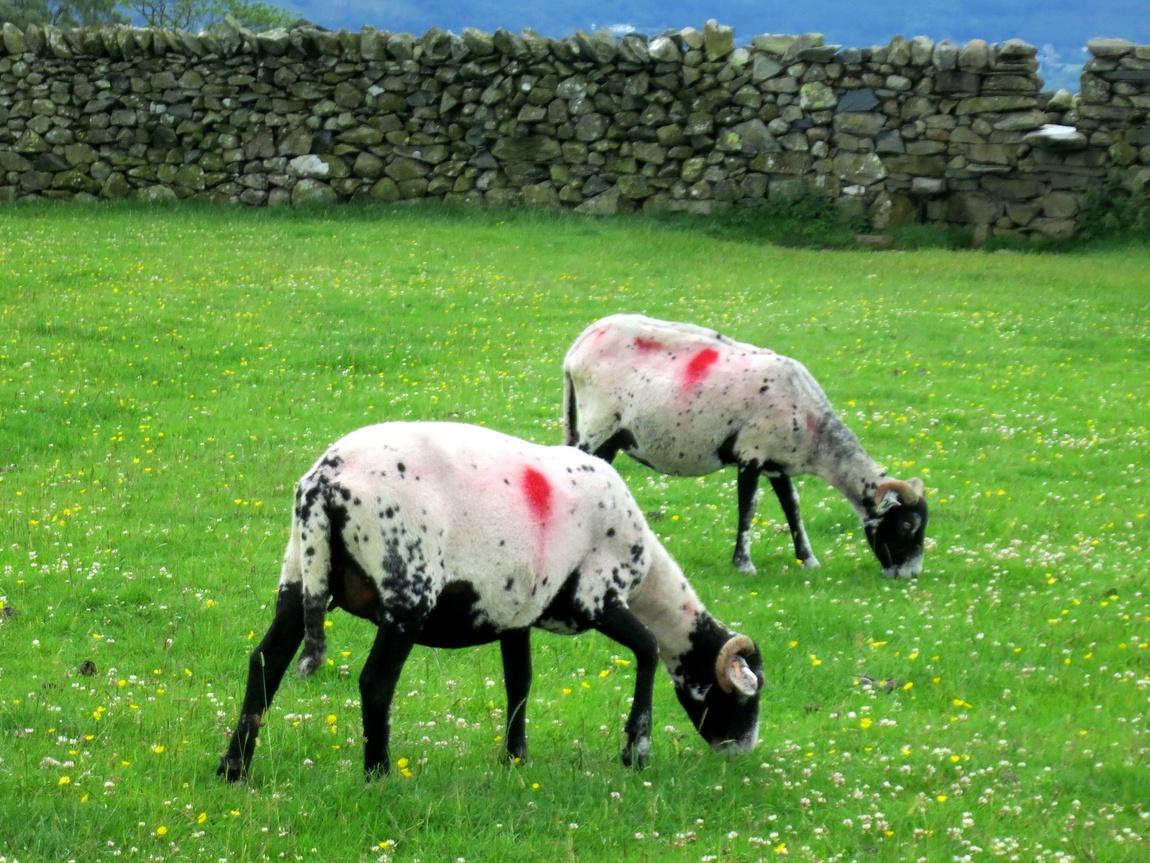 Англия овцы