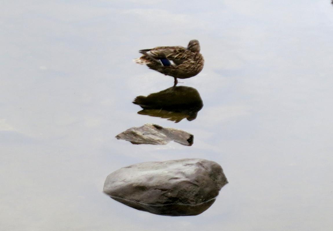 Утка на озере в Англии