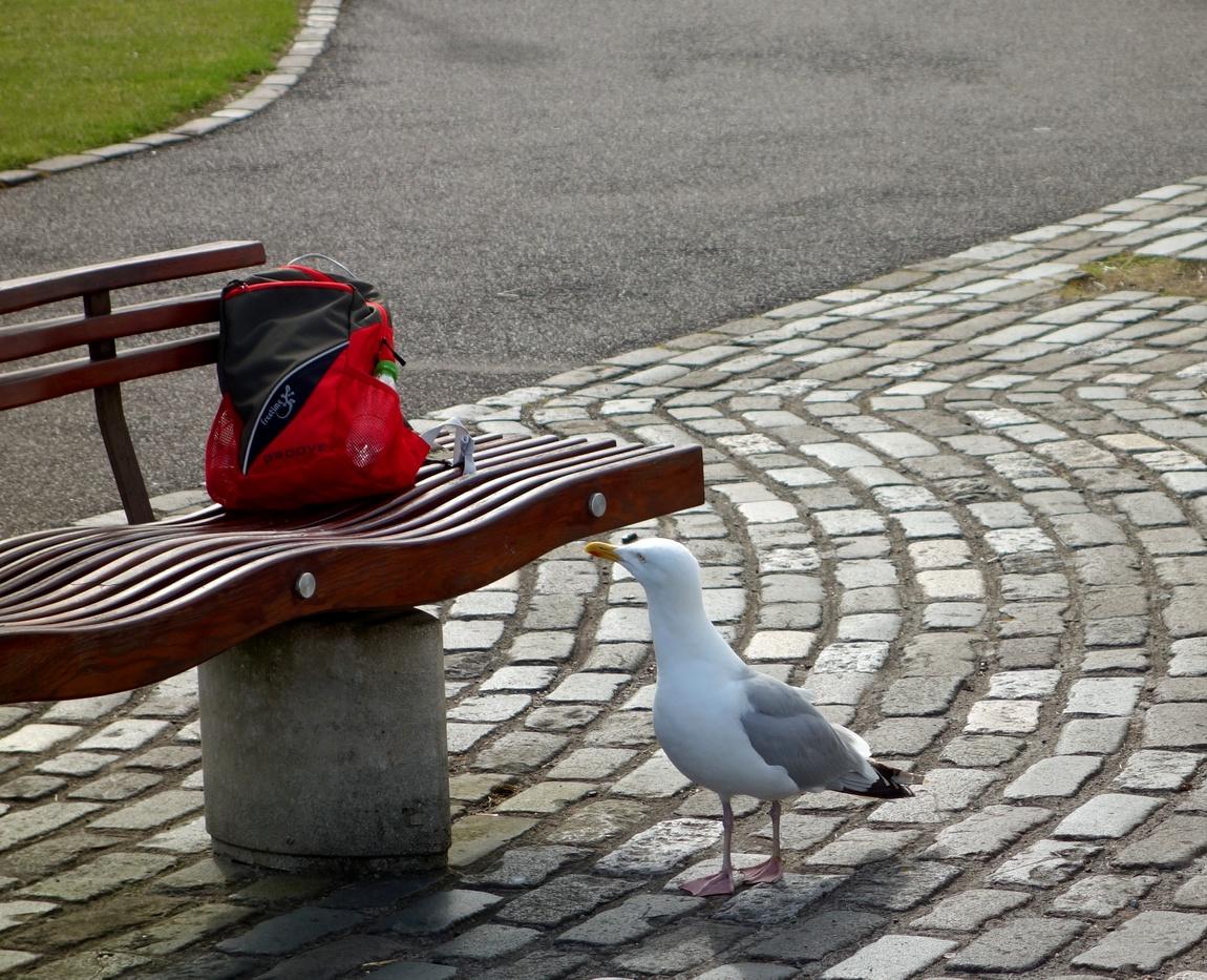 Любопытная чайка. (Великобритания)