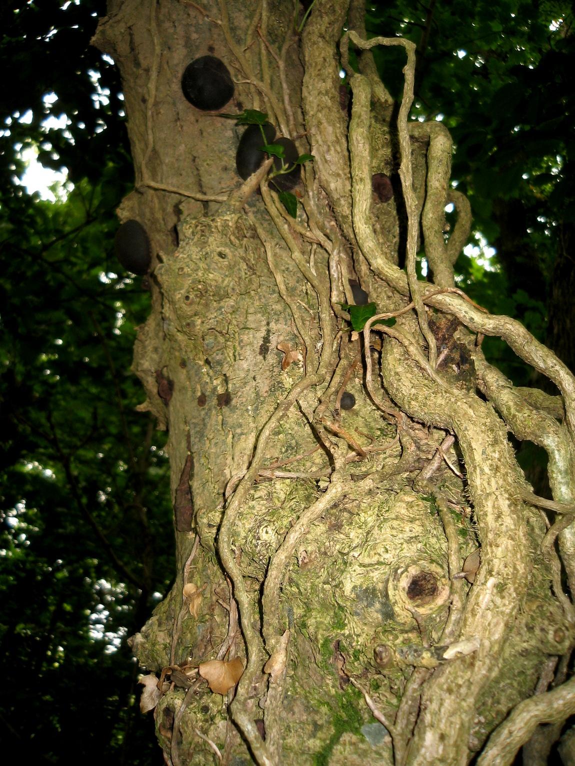 Англия -дерево с лианами
