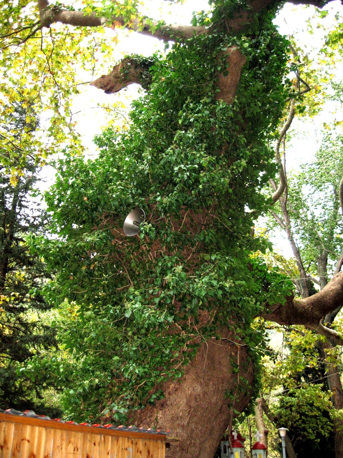 Дерево увитое плющом в Греции