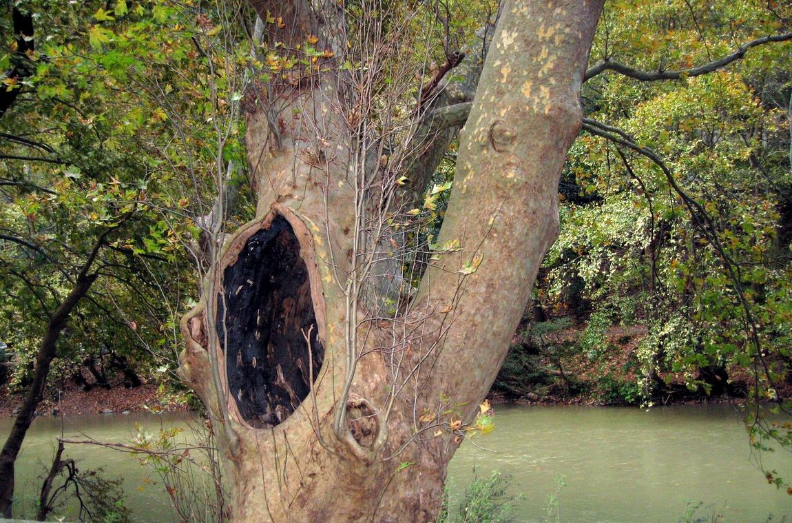 Дерево с дуплом в Греции