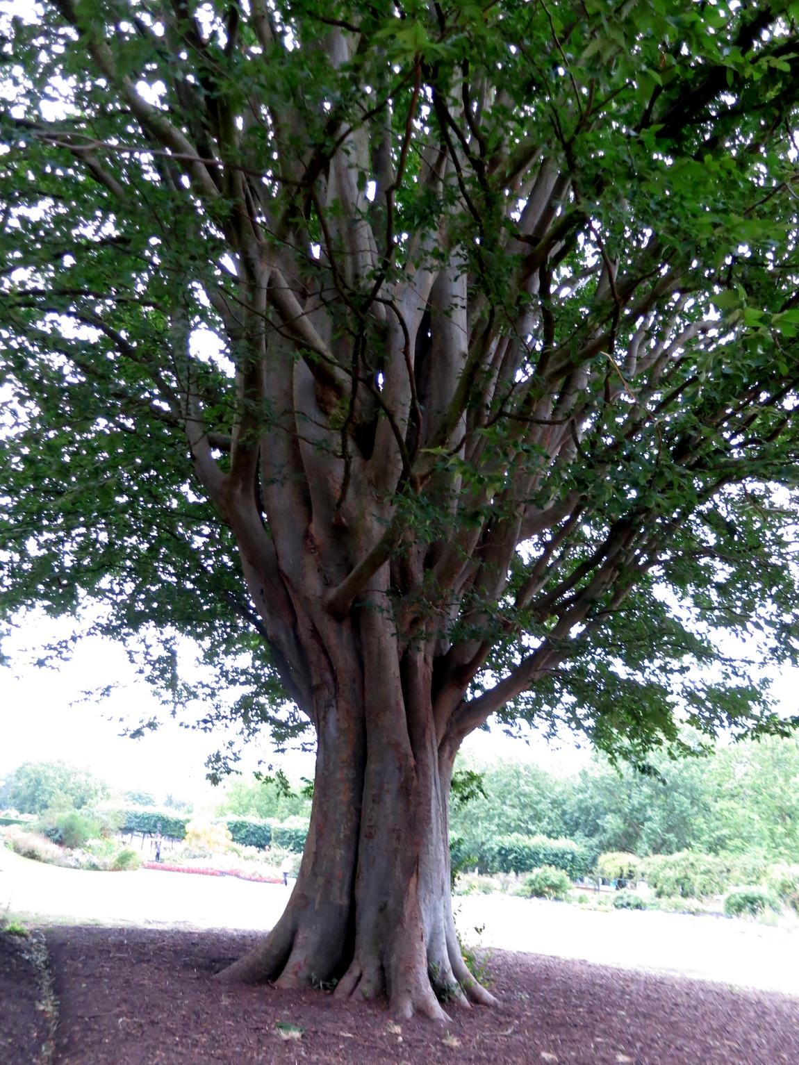 Многоствольное дерево в парке Лондона