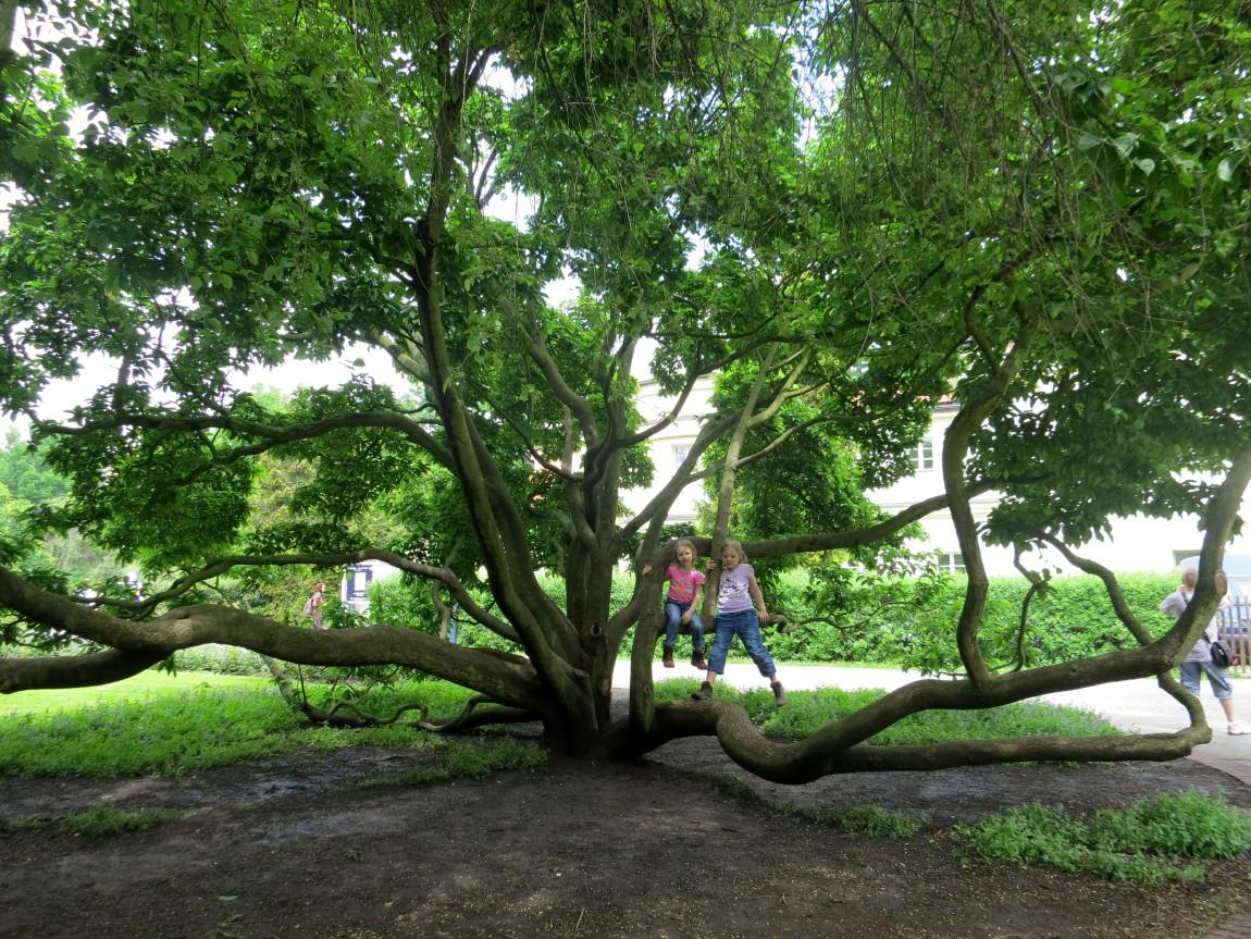 Необычное дерево в садах на холме Петршин (Petřín) Праги