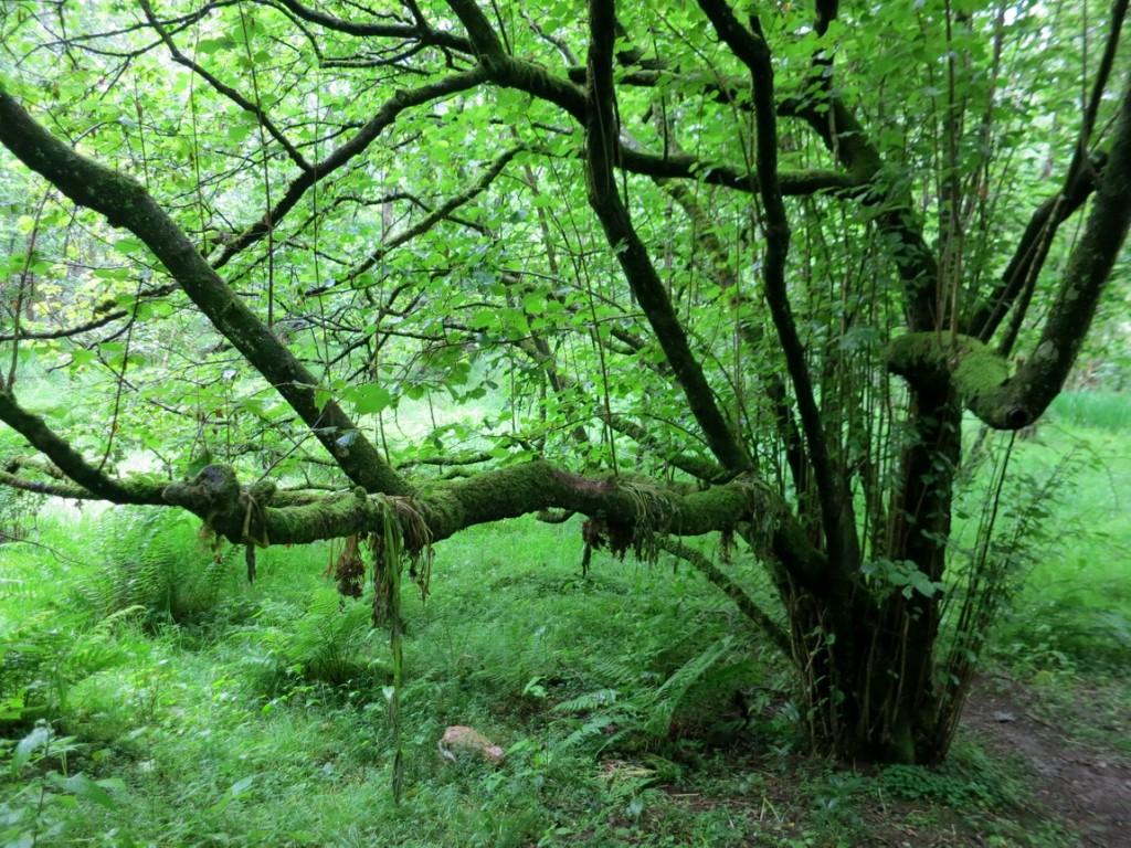 Дерево увешенное тиной в Англии