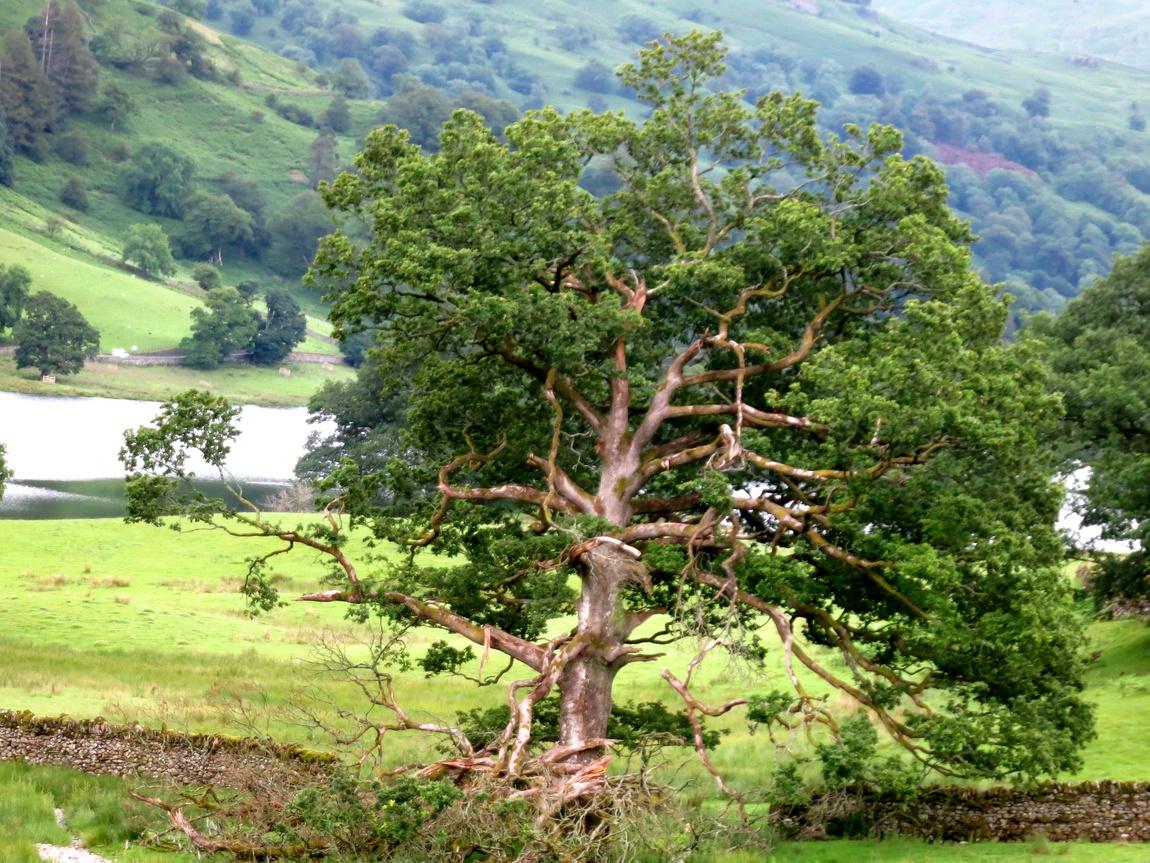 Половинчатое дерево (Великобритания)