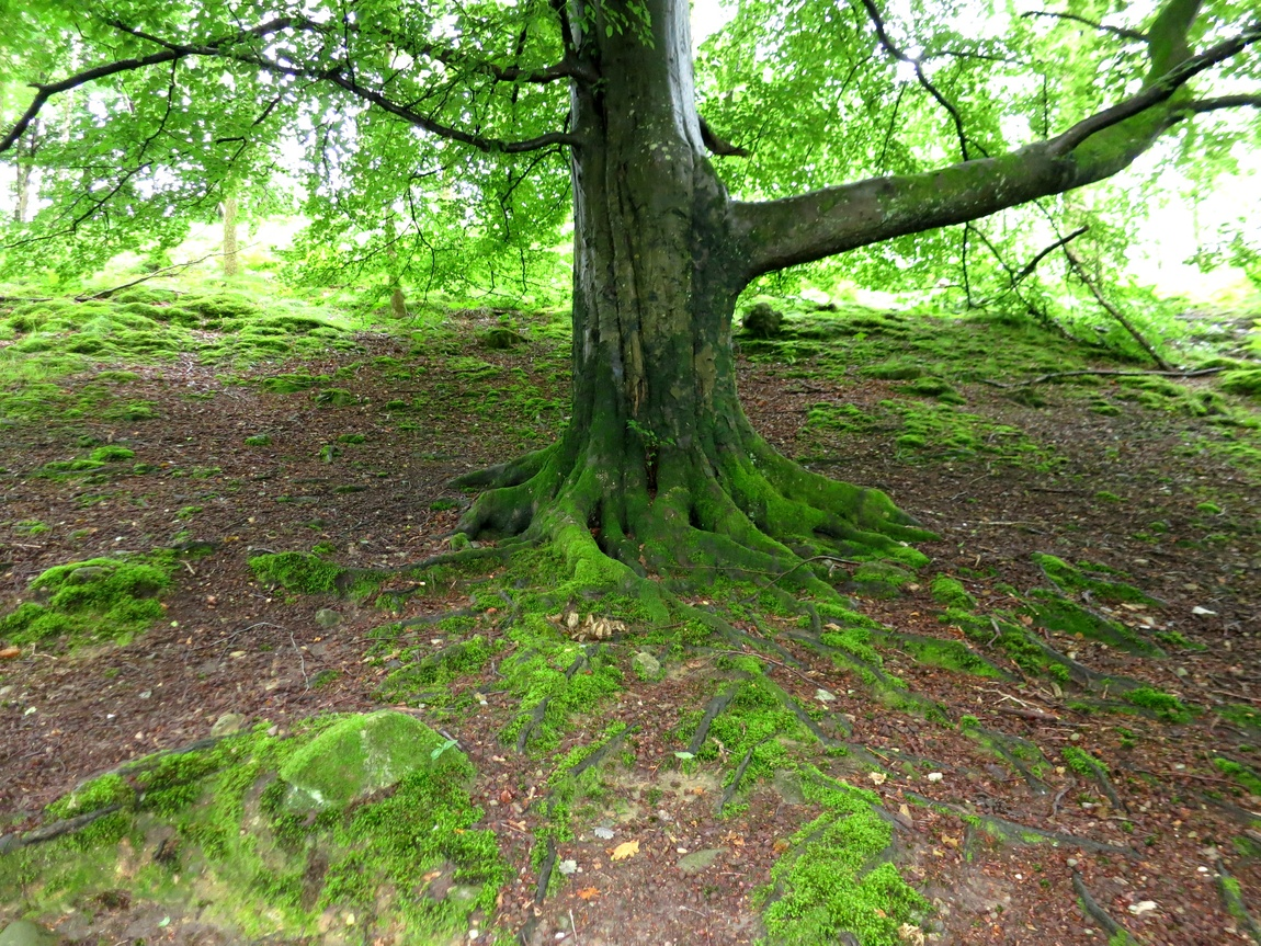 Дерево во мху (Великобритания)