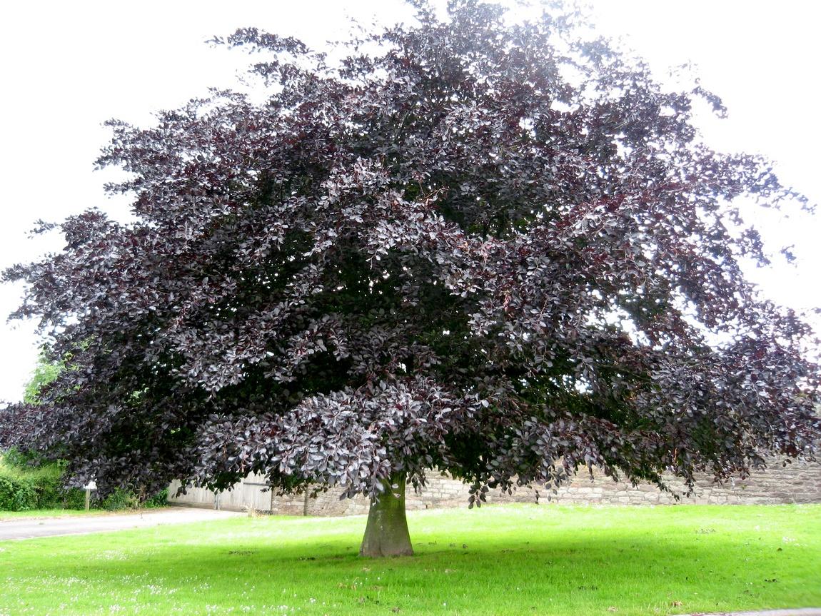 Англия - дерево