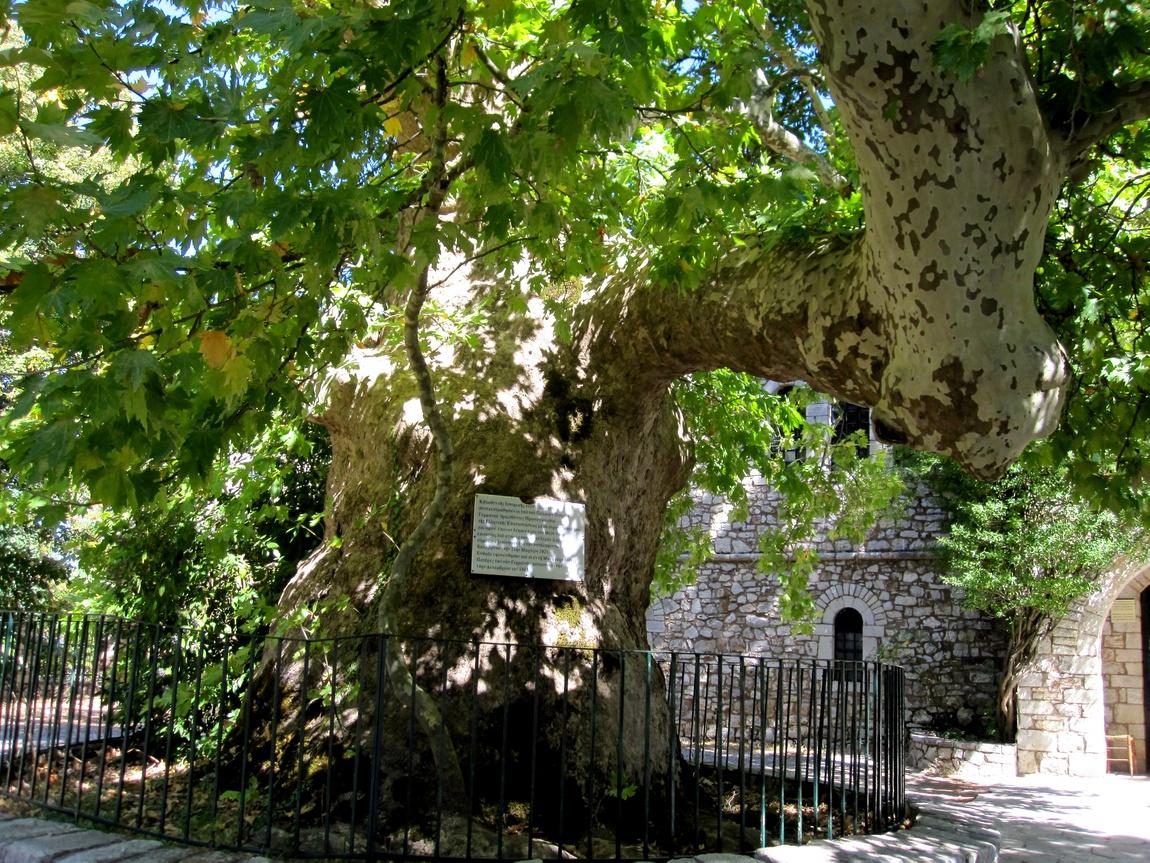 Дерево Греция с отметина от пуль немцев
