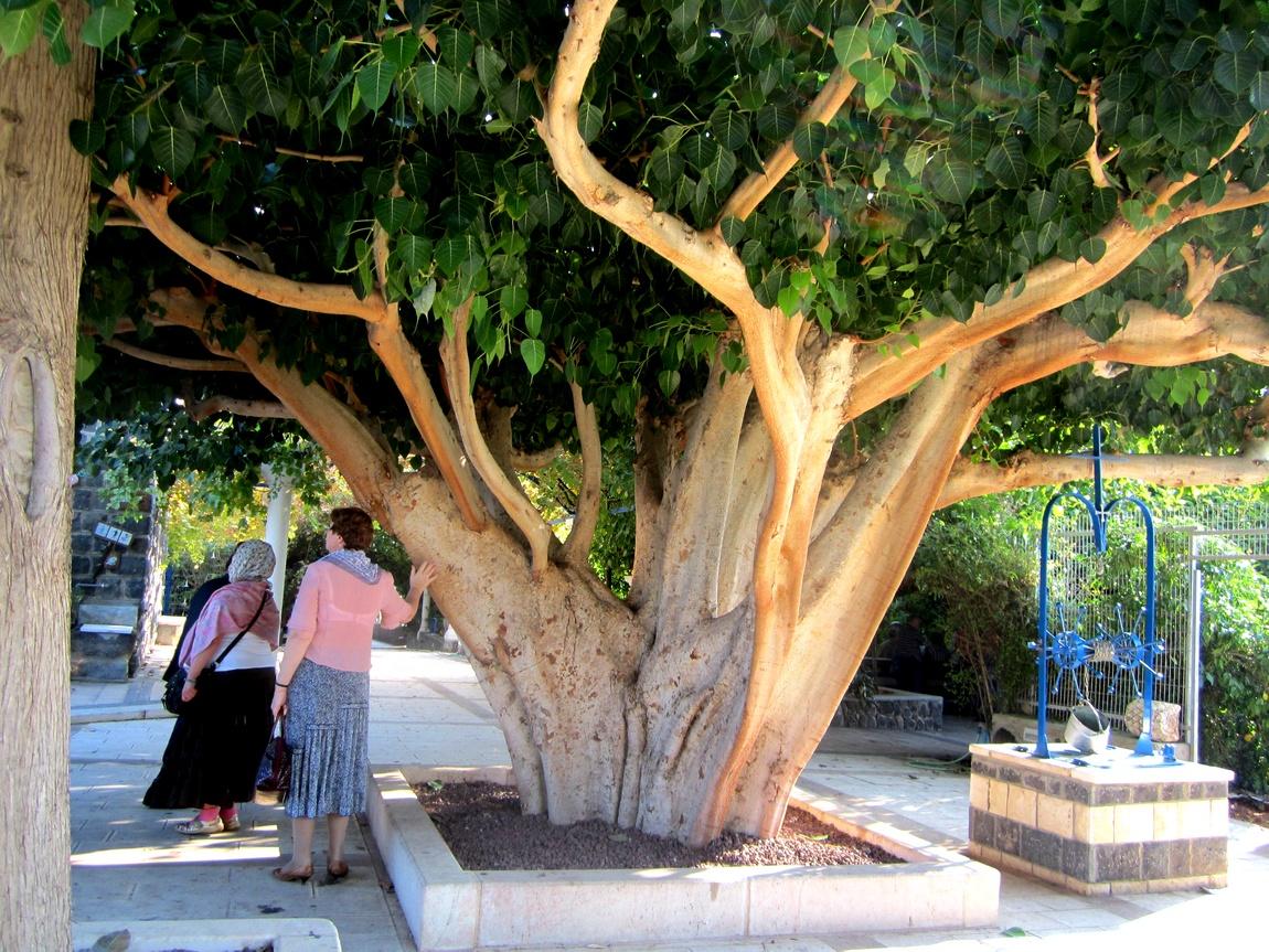 Дерево Израиль