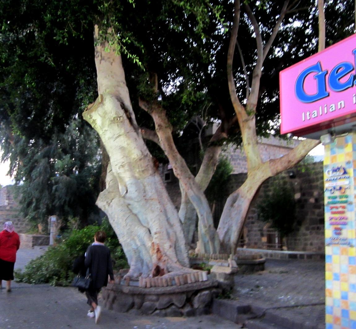 Дерево в Иерусалиме