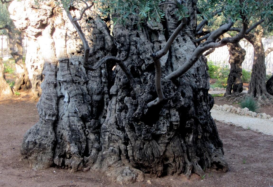 Олива в Гефсиманском саду (Израиль)
