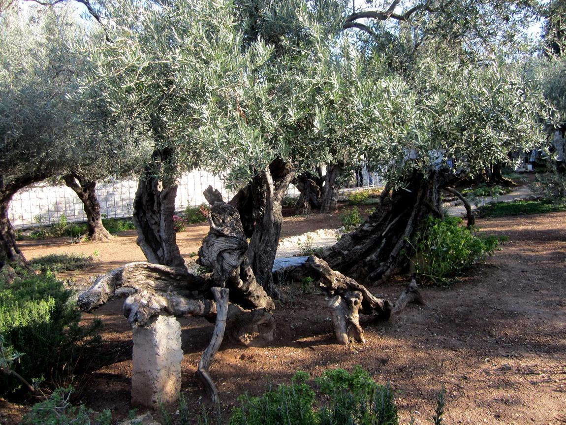 Оливы в Гефсиманском саду, Иерусалим