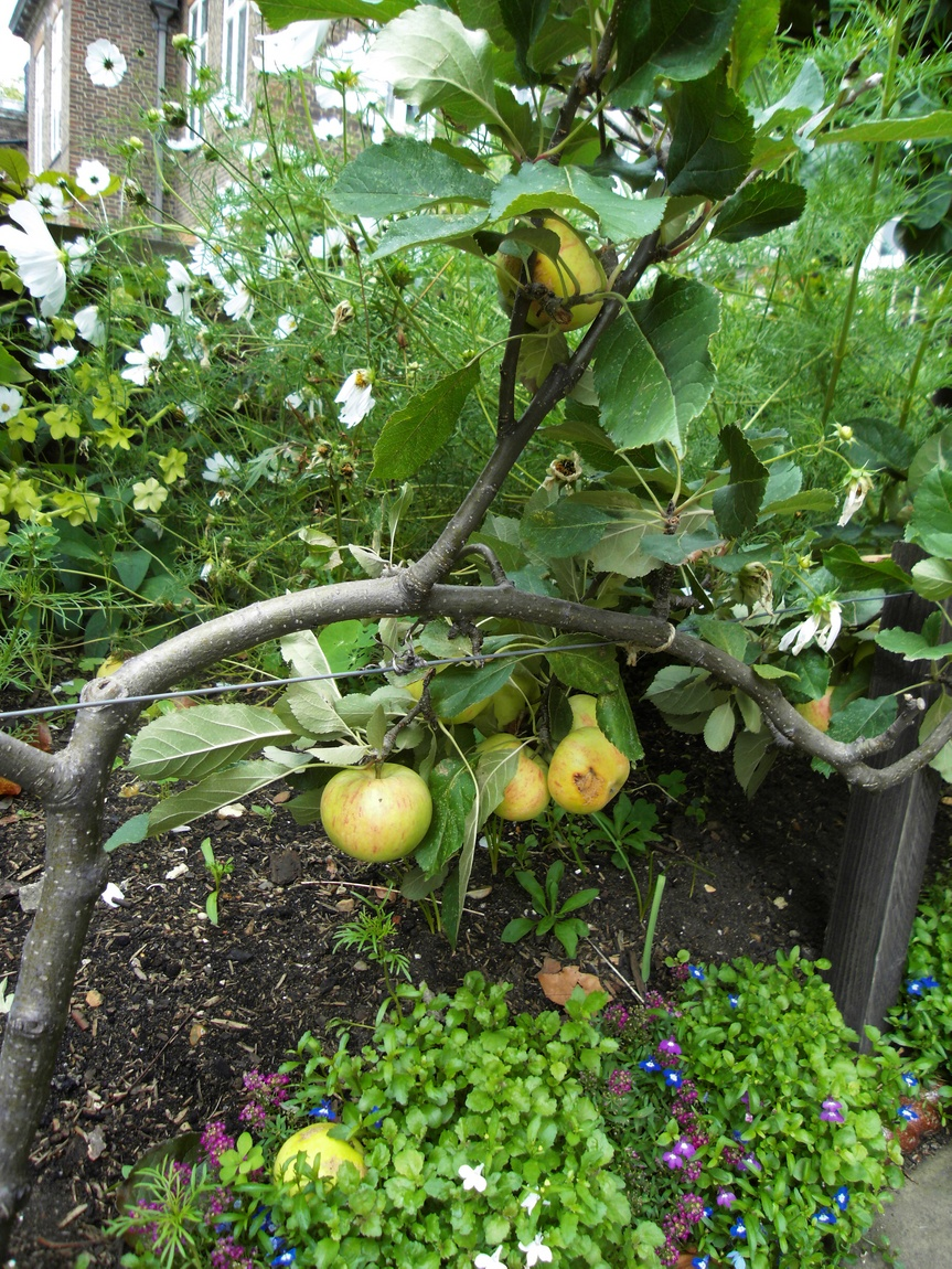 Самая низкорослая яблоня в Лондоне