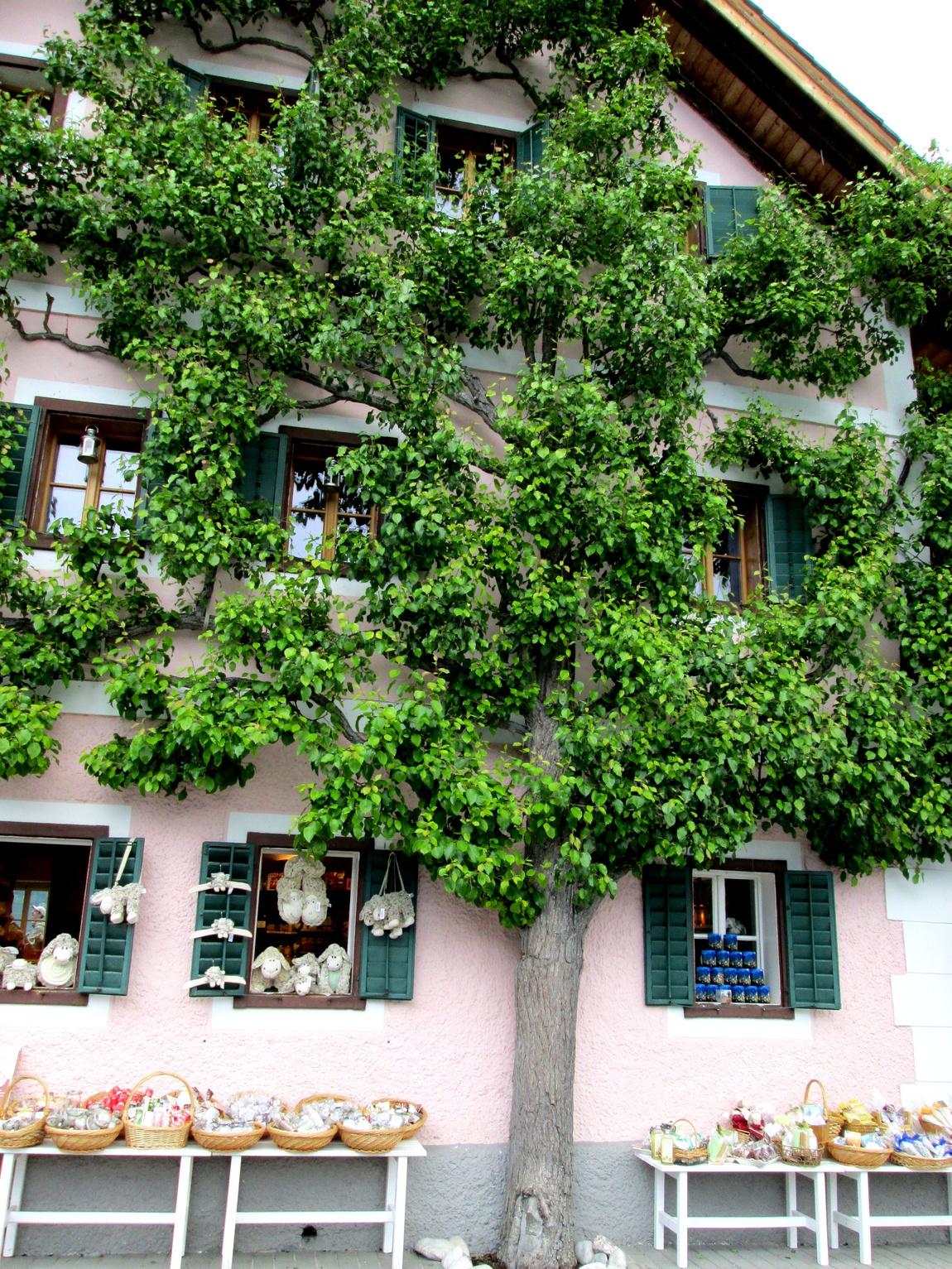 Плоское дерево Австрия