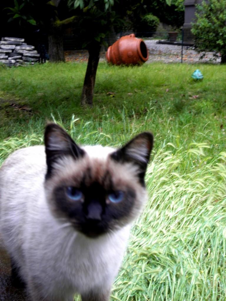 Сиамский кот в Италии