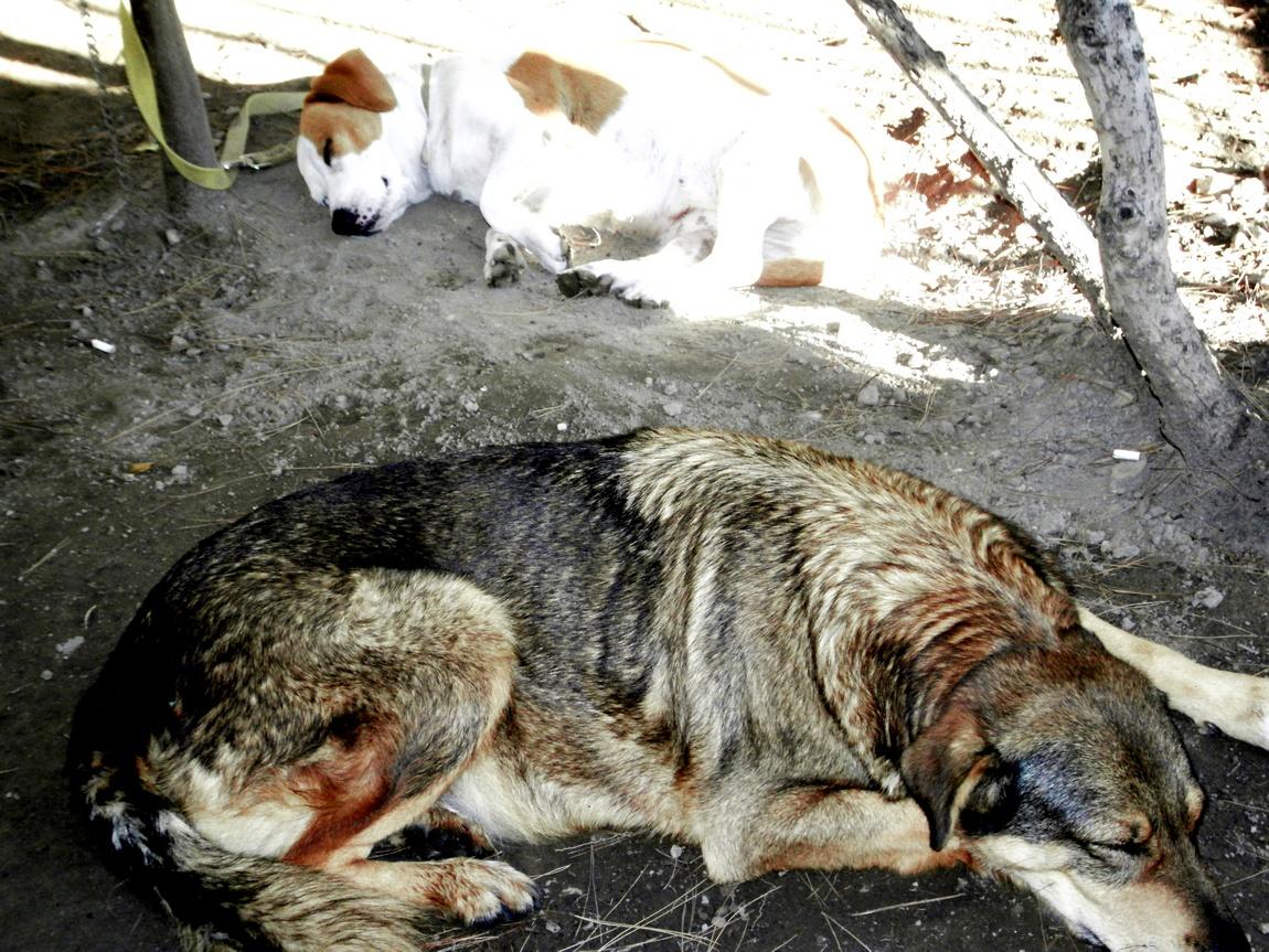 Ленивые собаки в Греции