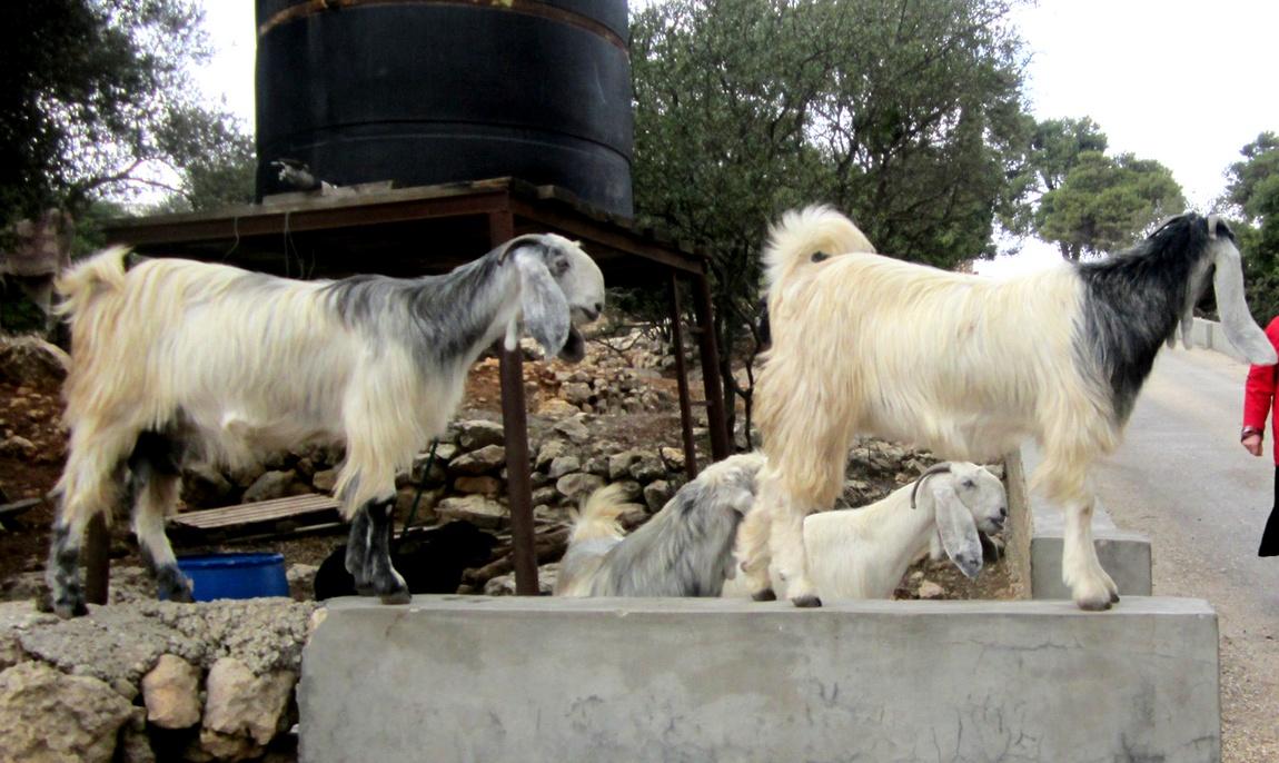 Вислоухие козы (Палестина)
