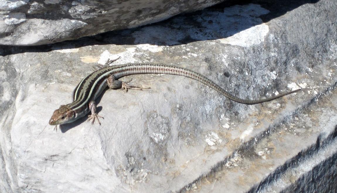 Ящерица в Греции.