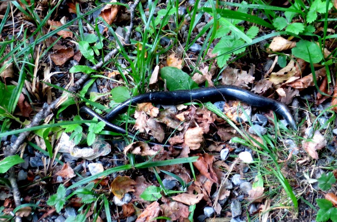 Змея в Австрии.