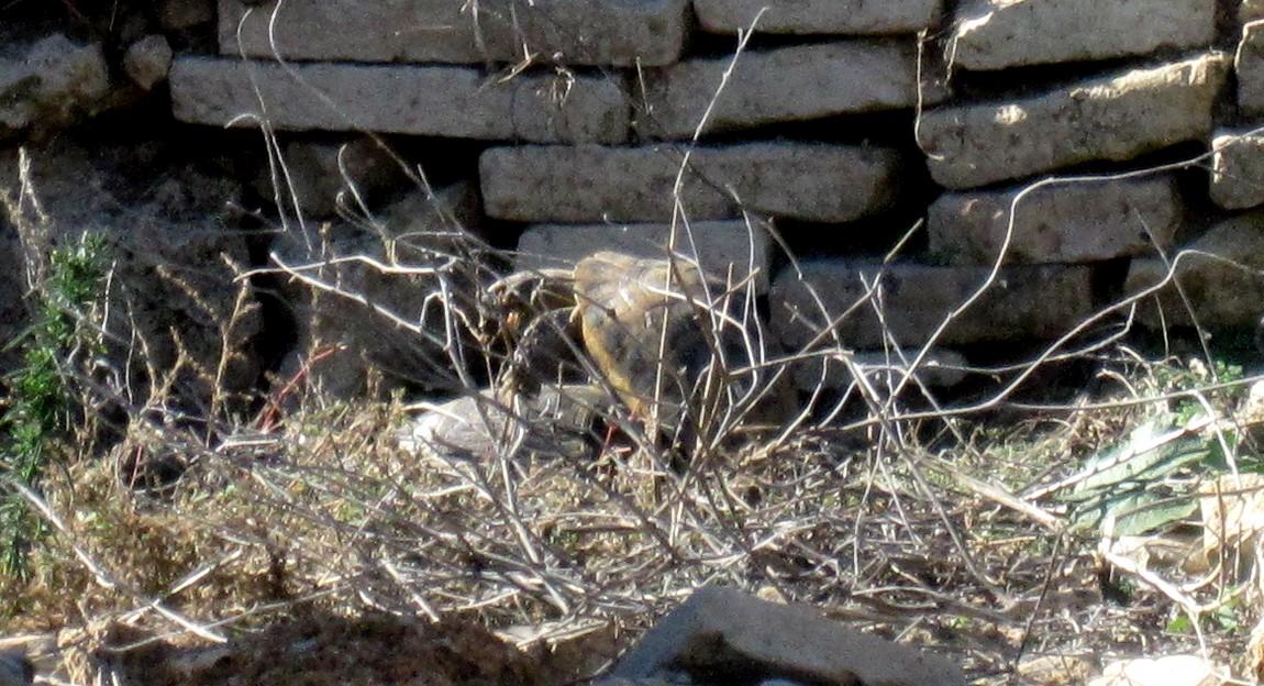 Черепахи в Перге (Турция)