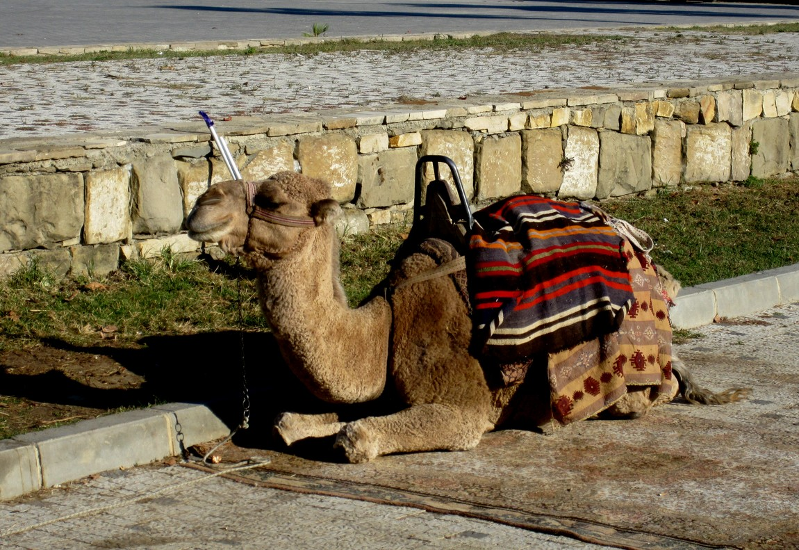 Сиде - верблюд (Турция)
