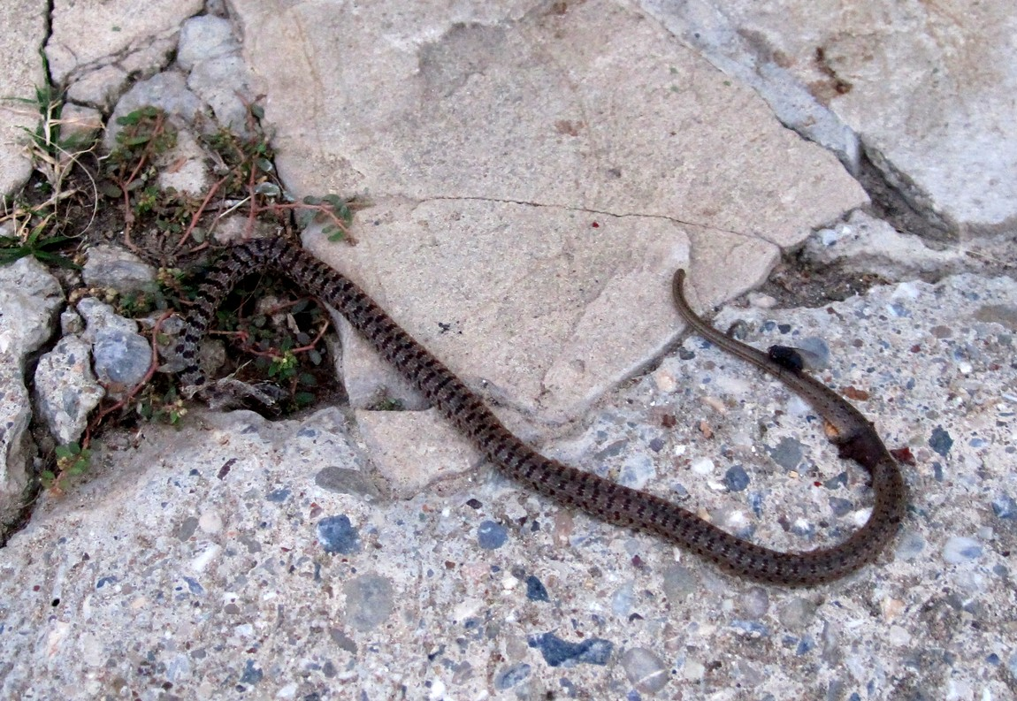Змея в Турции