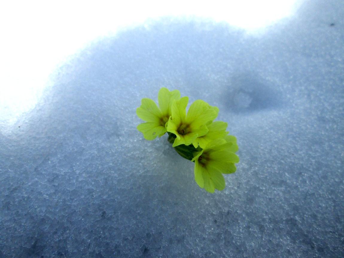 Цветы на снегу в горах Австрии