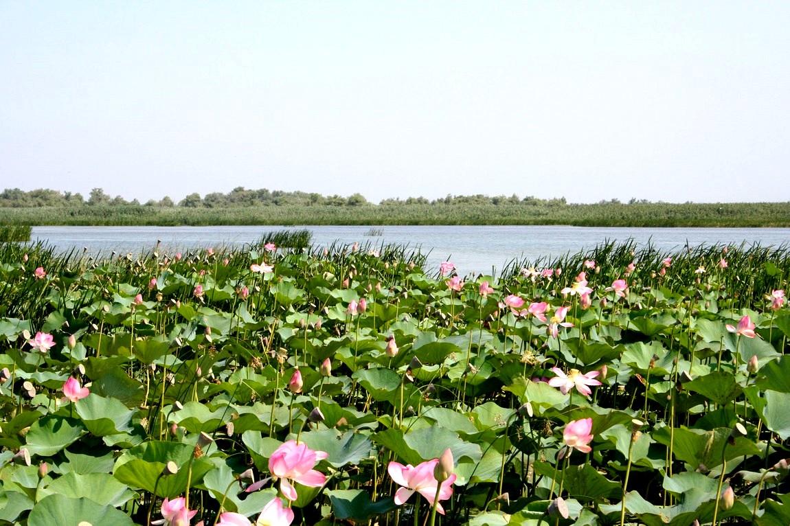 Цветы - лотосы в Анапе