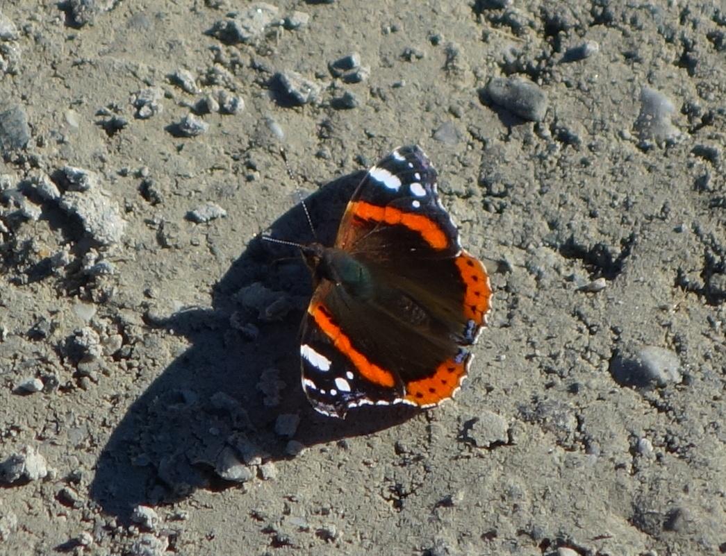 Бабочки на высоте 2630 м. на леднике Штубай среди снегов в Австрии