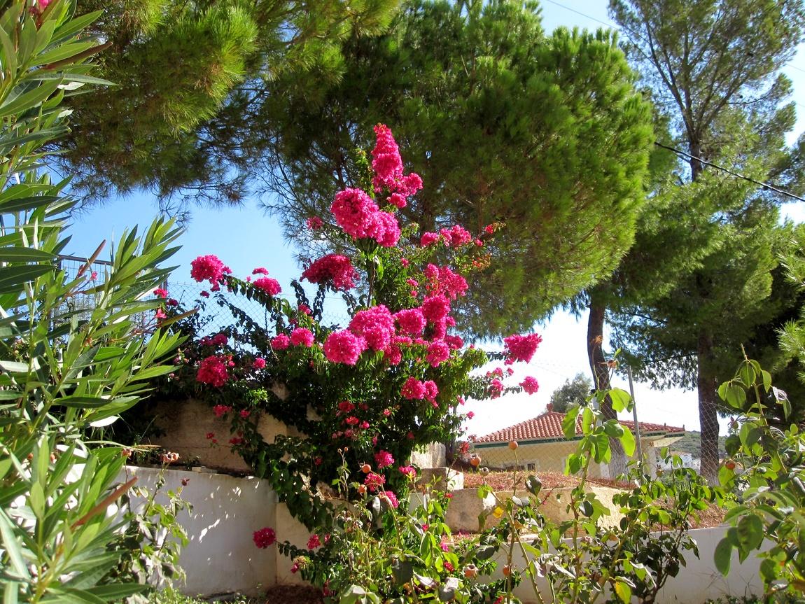 цветы греции фото и названия этом