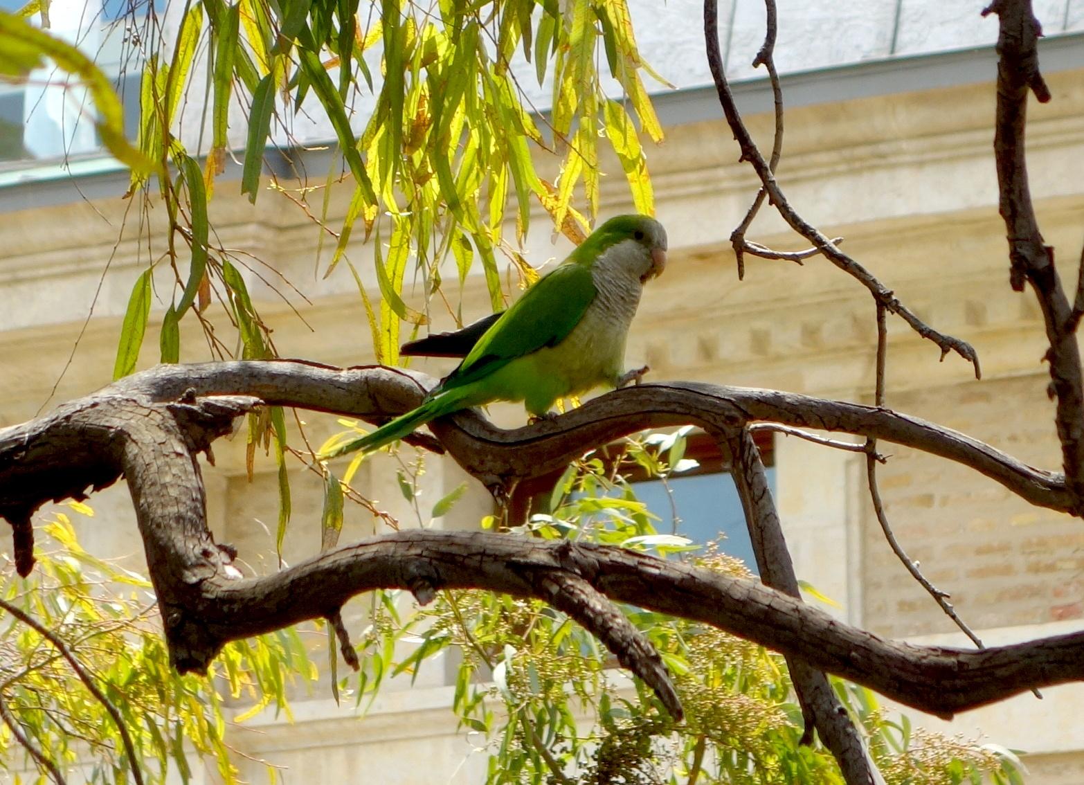 """Зелёный попугай - """"Монах"""" в городе Испании"""