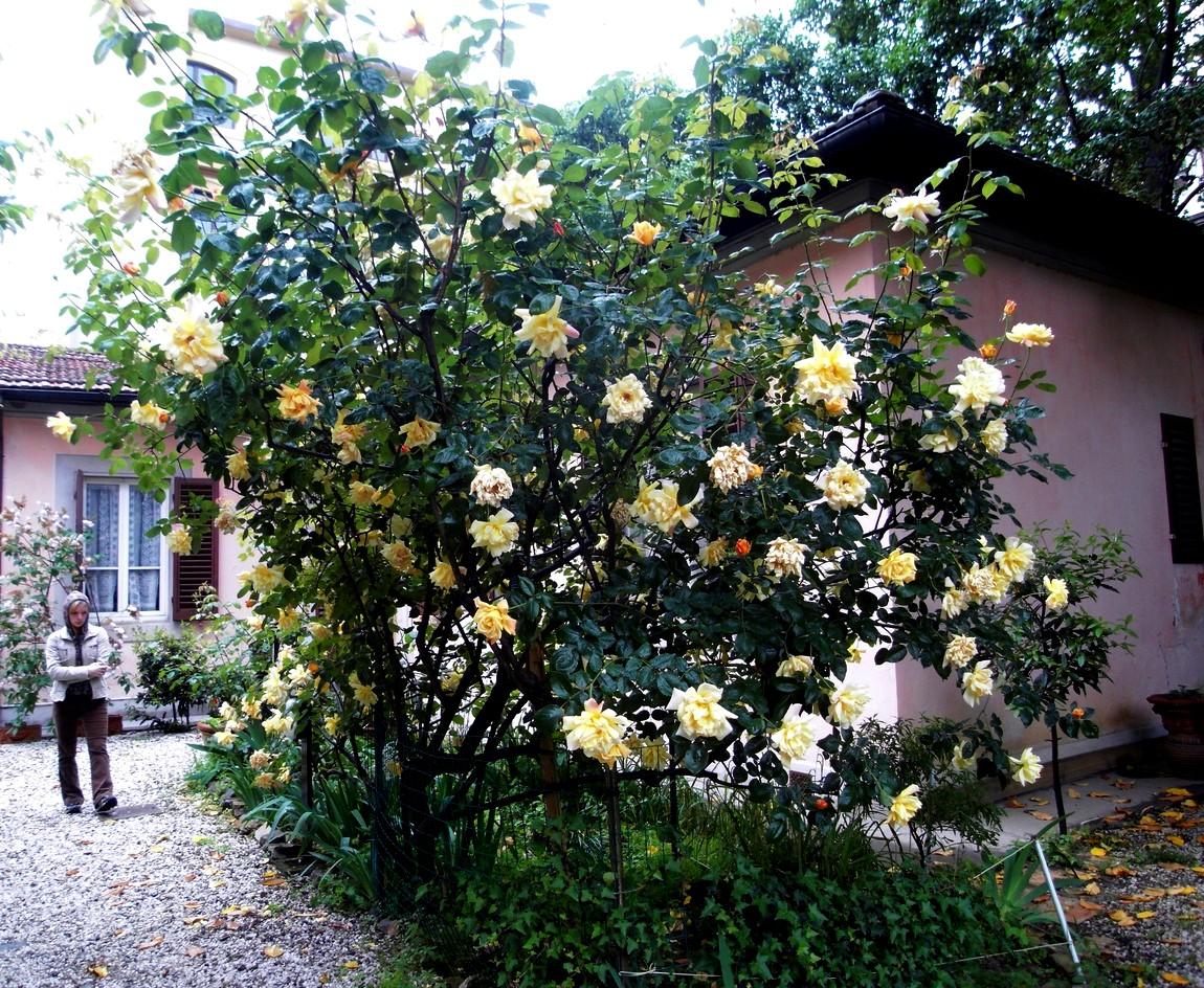 Роза в Италии