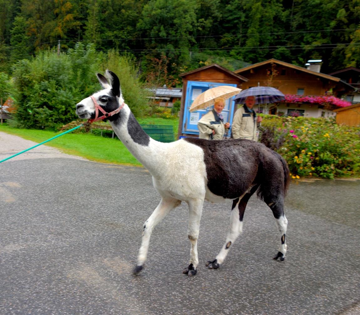 Лама в Австрии