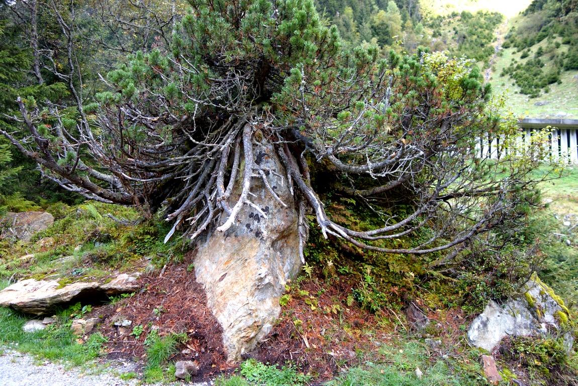 Горная сосна на камне в австрии
