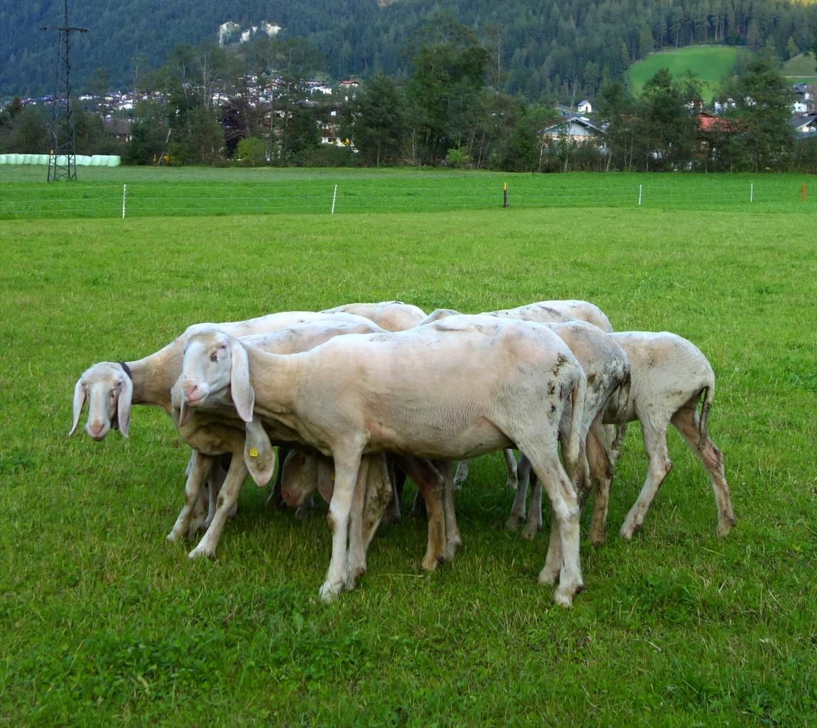Забавные вислоухие овцы в горах Австрии