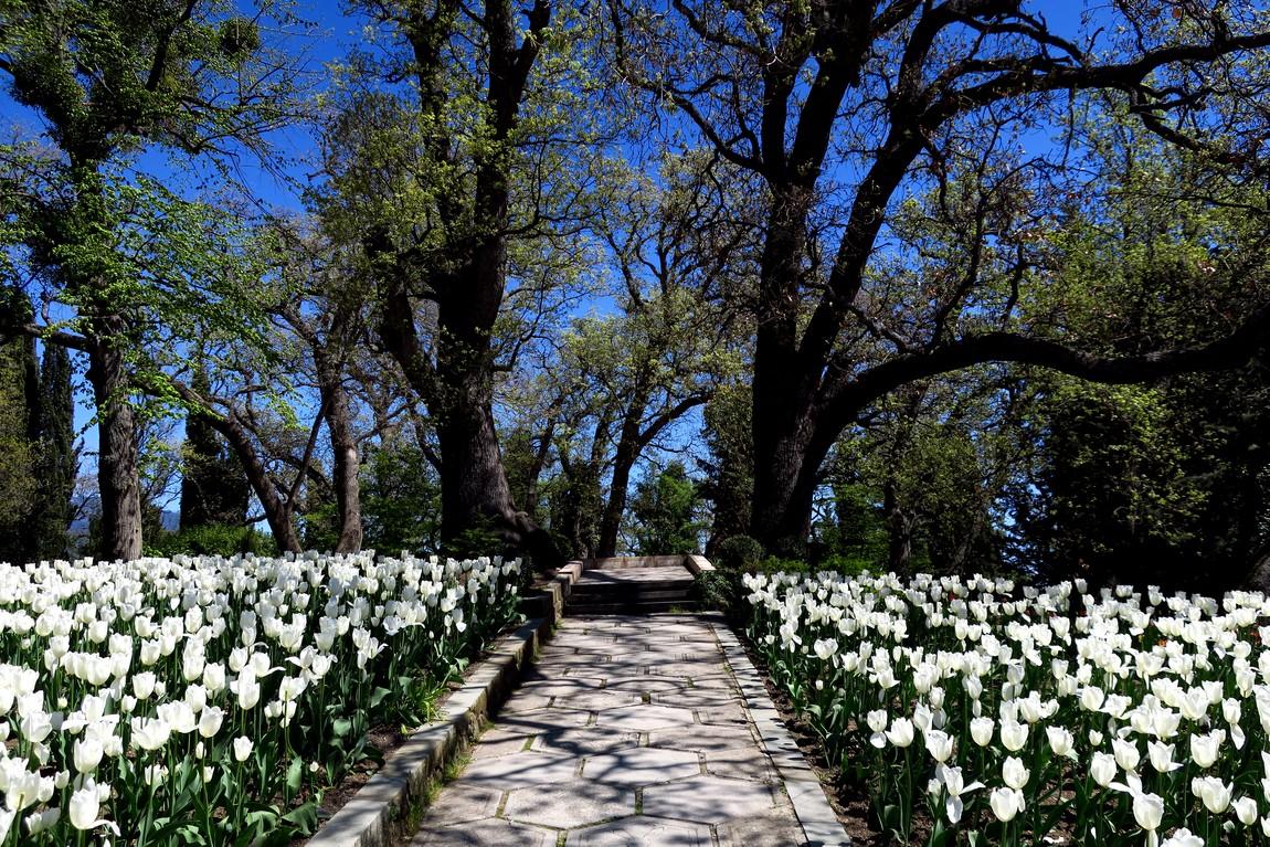 Тюльпаны в парке Ливадии