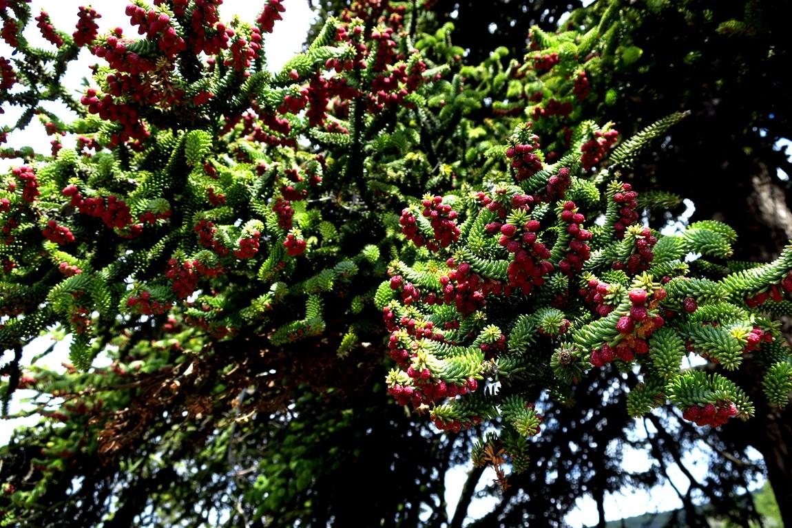 Цветущее дерево в парке Массандры